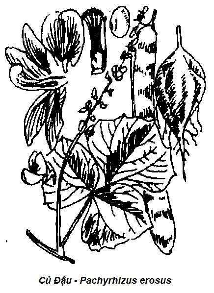 Hình vẽ Củ Đậu - Pachyrhizus erosus-Nguyên liệu làm thuốc Có Chất Độc