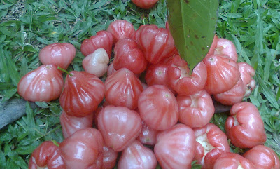 Benefits of Water Apple / Rose Apple for Losing Weight, Women Pregnancy and Beauty