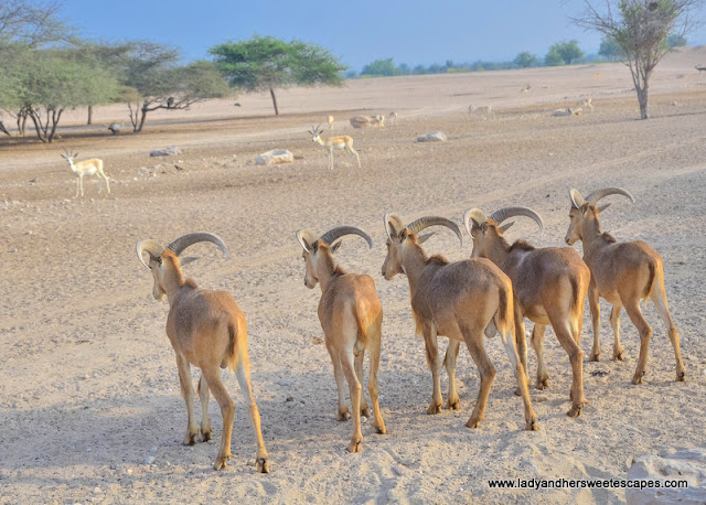 animals in Sir Bani Yas