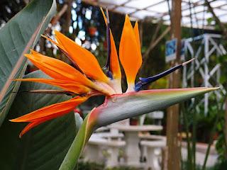 Bunga  Cendrawasih