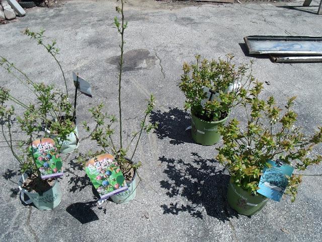Bluecrop Blueberry Bushes