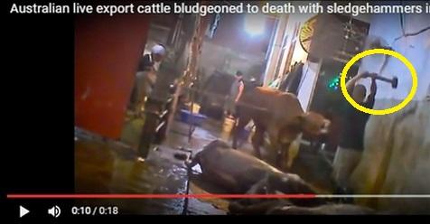 VIDEO: Tidak Disembelih, Sapi Sapi Ini Malah Dibunuh Dengan Dipukul Kepalanya Pakai Palu