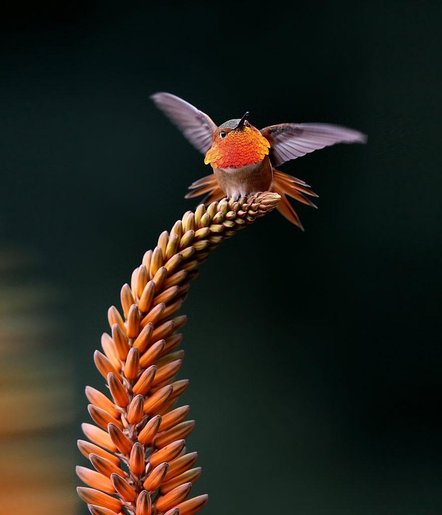 cute-beautiful-hummingbird-photography
