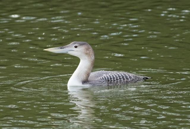 White-billed Diver - Lincolnshire