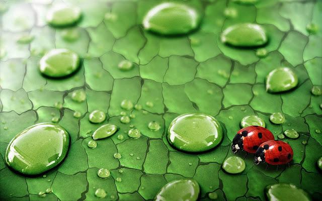 Foto van twee lieveheersbeestjes op een groen blad met waterdruppels