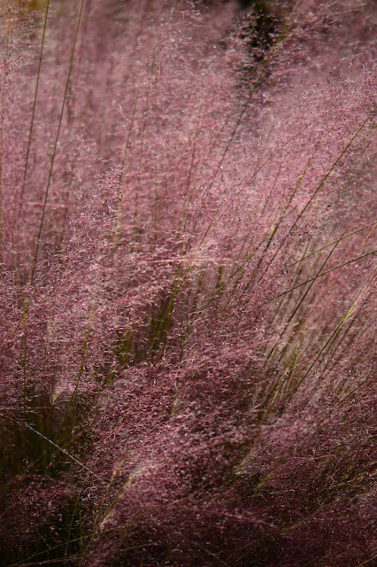 muhlenbergia capillaris, regal mist, plant selection, small sunny garden, desert garden, amy myers, photography, about the garden,