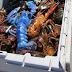 Ψαράς έπιασε στα δίχτυα του τον πιο σπάνιο μπλε αστακό – Δείτε φωτογραφίες