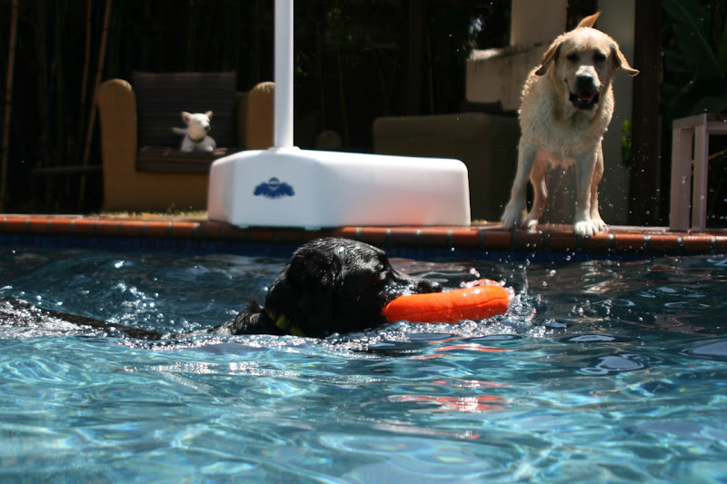 Labrador pool play date