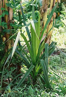 daun pandan jenis Pandanus Candelabrum