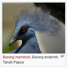 burung mabruk burung endemik papua wisataarea.com