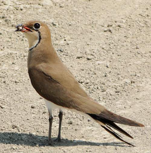 Indian birds - Picture of Collared pratincole - Glareola pratincola