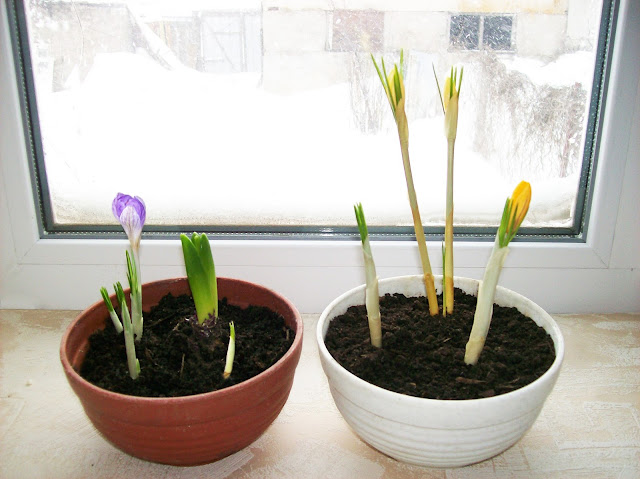 нежные крокусы в снежном феврале