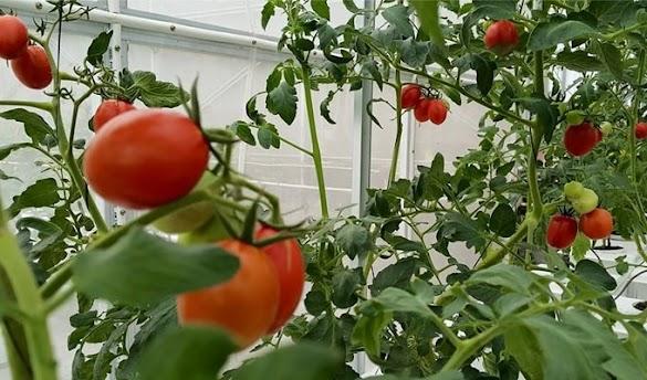 Cara Menanam Tomat Hidroponik dalam Polybag Mudah Dengan 7 Tahapan
