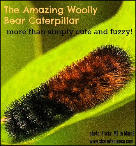 All Black Woolly Bear Caterpillars: Share It! Science : Woolly Bear Caterpillars- Not Just