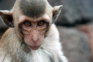 Penyakit Monyet Pantai
