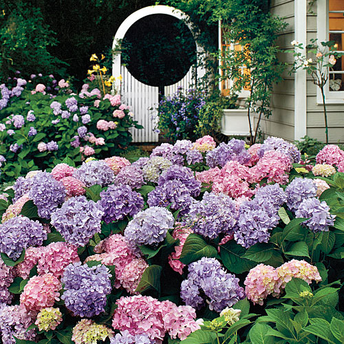 landscaping with hydrangeas pink purple white picket gate