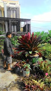 harga jual tanaman hias bromelia ukuran giant atau besar