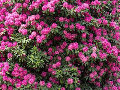 Shakunage (rhododendron) flowers: Ofuna  botanical garden (Kamakura)