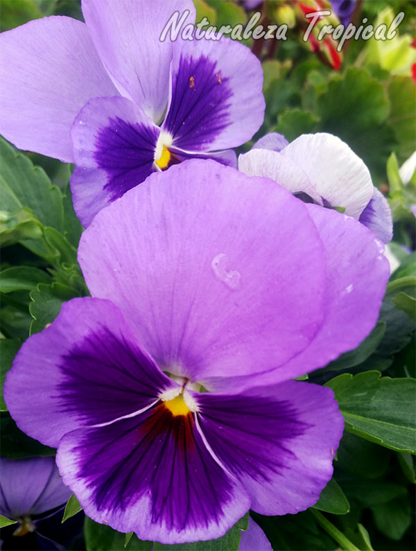 Variedad rosa-púrpura de la flor de la planta Pensamiento, Viola × wittrockiana
