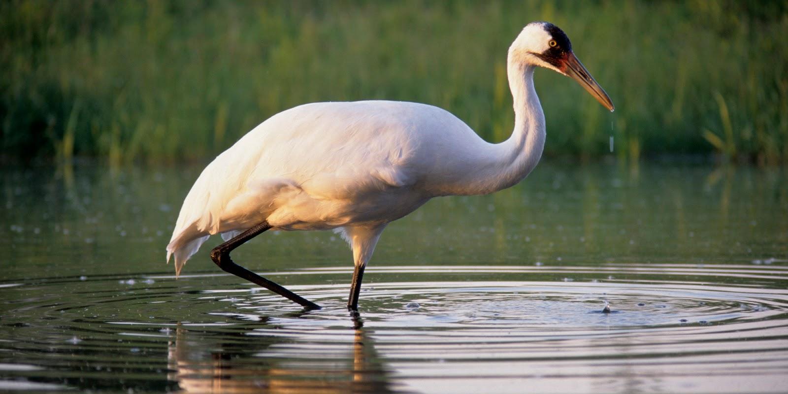 что белый журавль фото птицы красующиеся