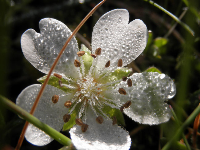 flor silvestre blanca.