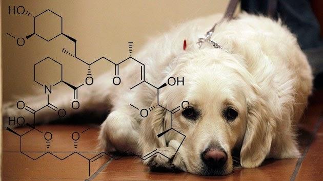 Medicamento para prolongar a vida humana será testado em cães