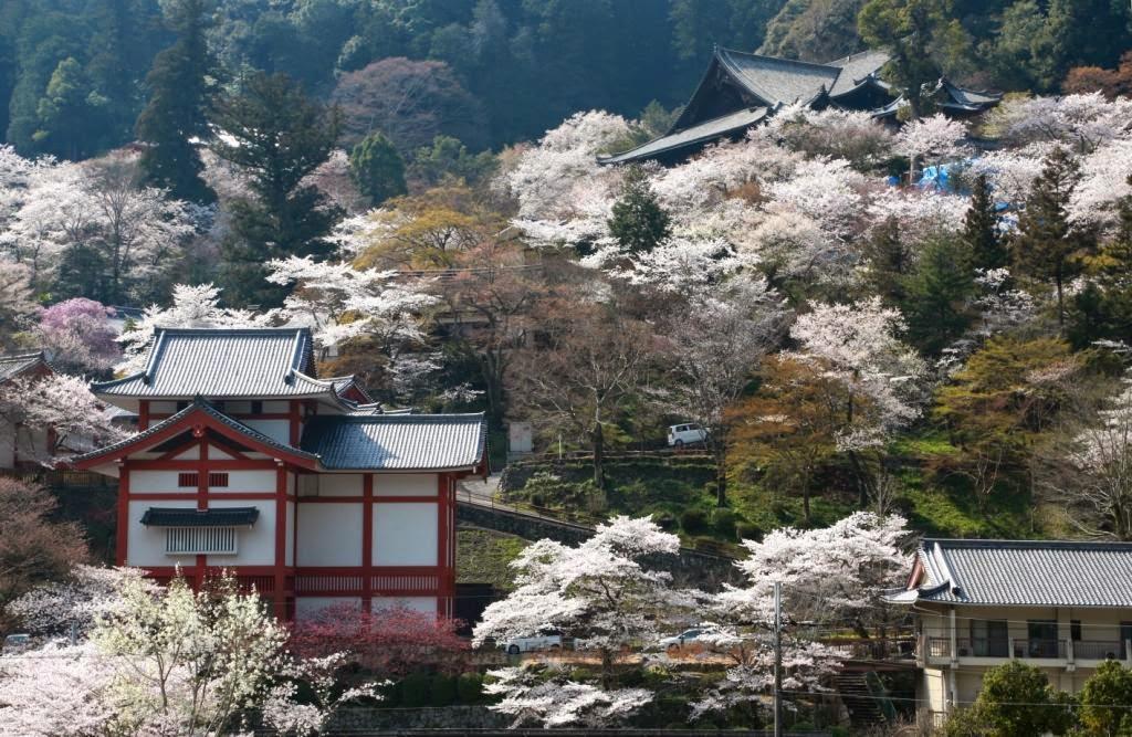 阿畢的天空: 奈良春賞櫻─奈良公園,長谷寺,又兵衛櫻