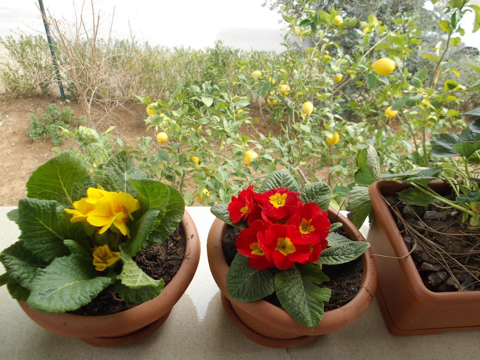Kaktüslerin çoğaltılması: bahçecilik danışmanlığı