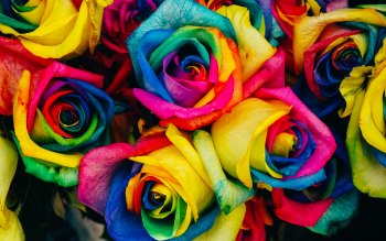 Wallpaper: Rainbow of Roses