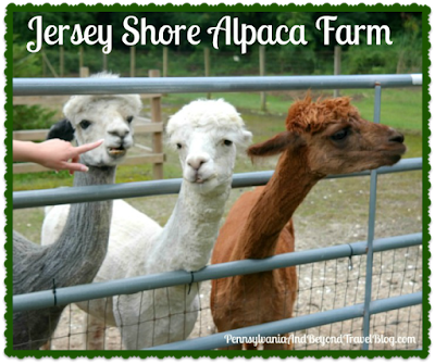 Jersey Shore Alpaca Farm in Cape May, New Jersey