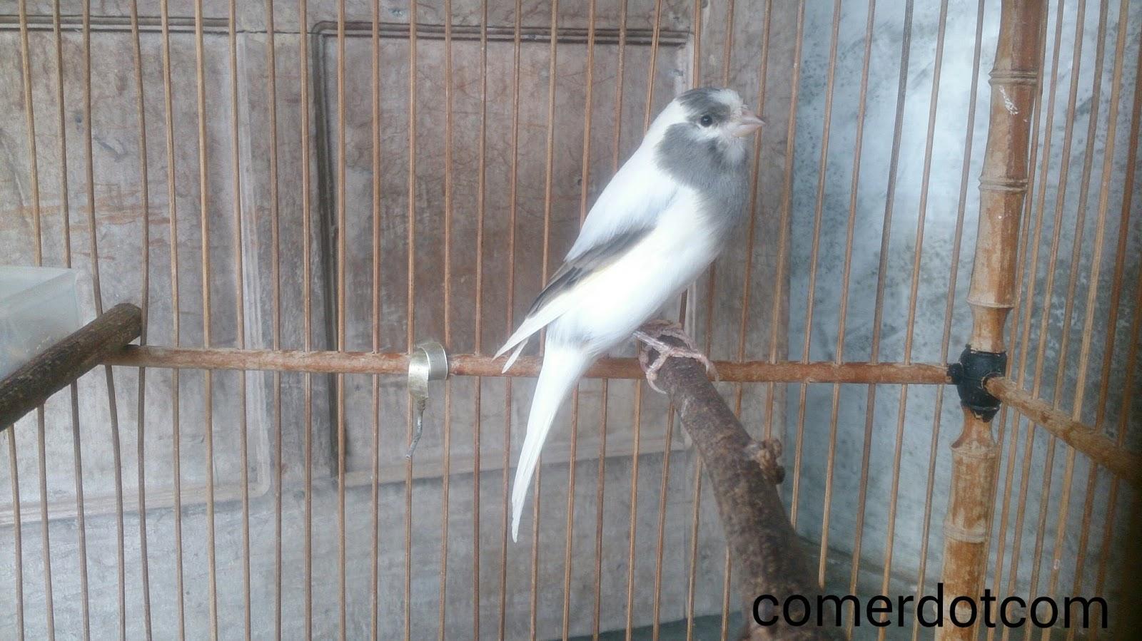 Unduh 540+ Foto Gambar Burung Gereja Anakan Jantan HD Terbaru Gratis