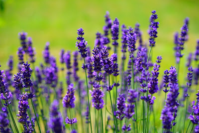 health and fitness,lavender flower,lavender