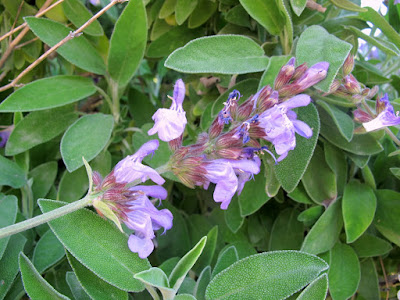 Sage (Salvia Officinalis) Overview, Health Benefits, Side effects