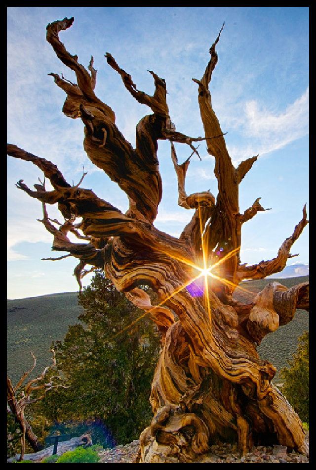A 4,845-year-old Great Basin Bristlecone Pine, affectionately named Methuselah. #nature #trees #oldest #awesome #california