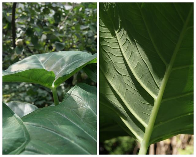 Blattadern Colocasia esculenta