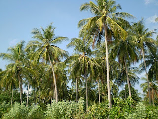 Benefits of Coconut Tree - Roots, Stems, Leaves and Fruits - Healthy T1ps