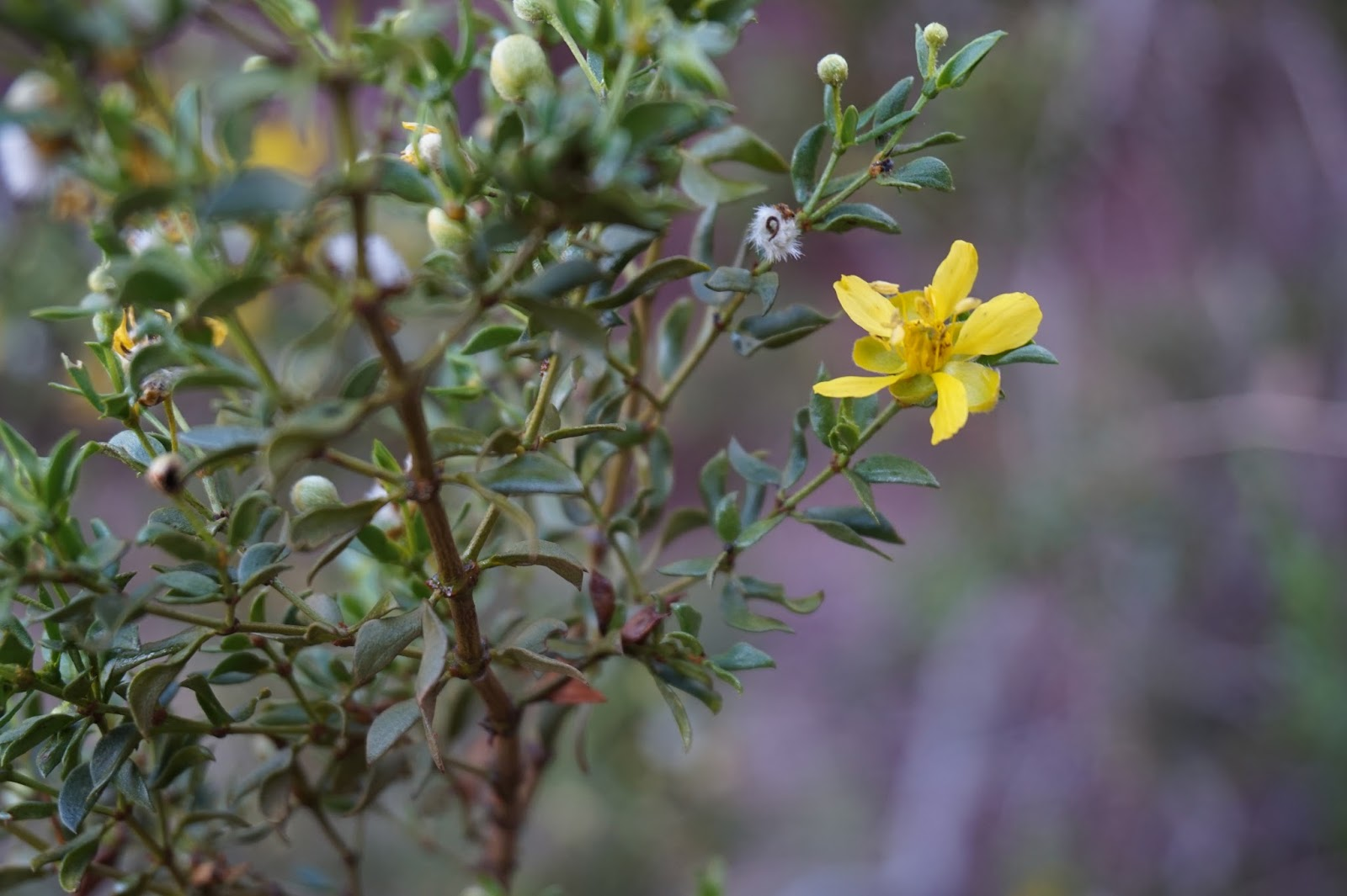 creosote has little leaves shaped sort of like thyme and stylish golden yellow flowers and to me most strikingly amazing little fuzzball seeds