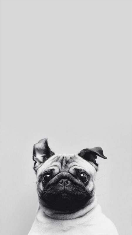 Hình nền mở khóa điện thoại chú chó Pug đáng yêu hài hước