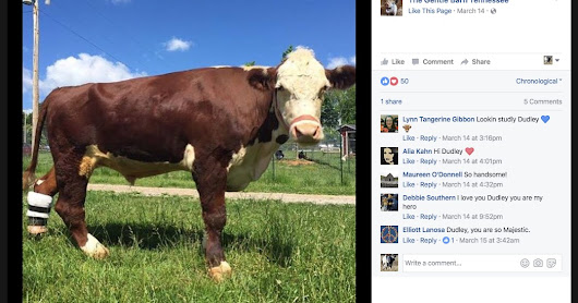 The Gentle Barn's Prosthetic-Legged Steer is Dead... Under Suspicious Circumstances.