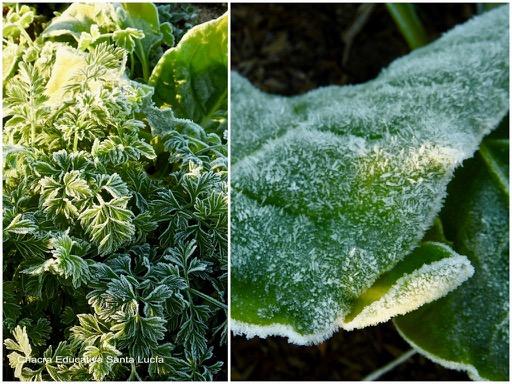 Plantas de la huerta afectadas por la helada que forma una capa de hielo sobre las hojas - Chacra Educativa Santa Lucía