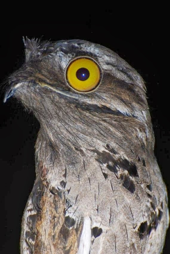 ShukerNature  PORTRAITS OF A POTOO     NEITHER AN AVIAN ALIEN NOR THE     This is because in the eyes of potoos  the black pupil is normally  prominently ringed by a wide gold coloured iris