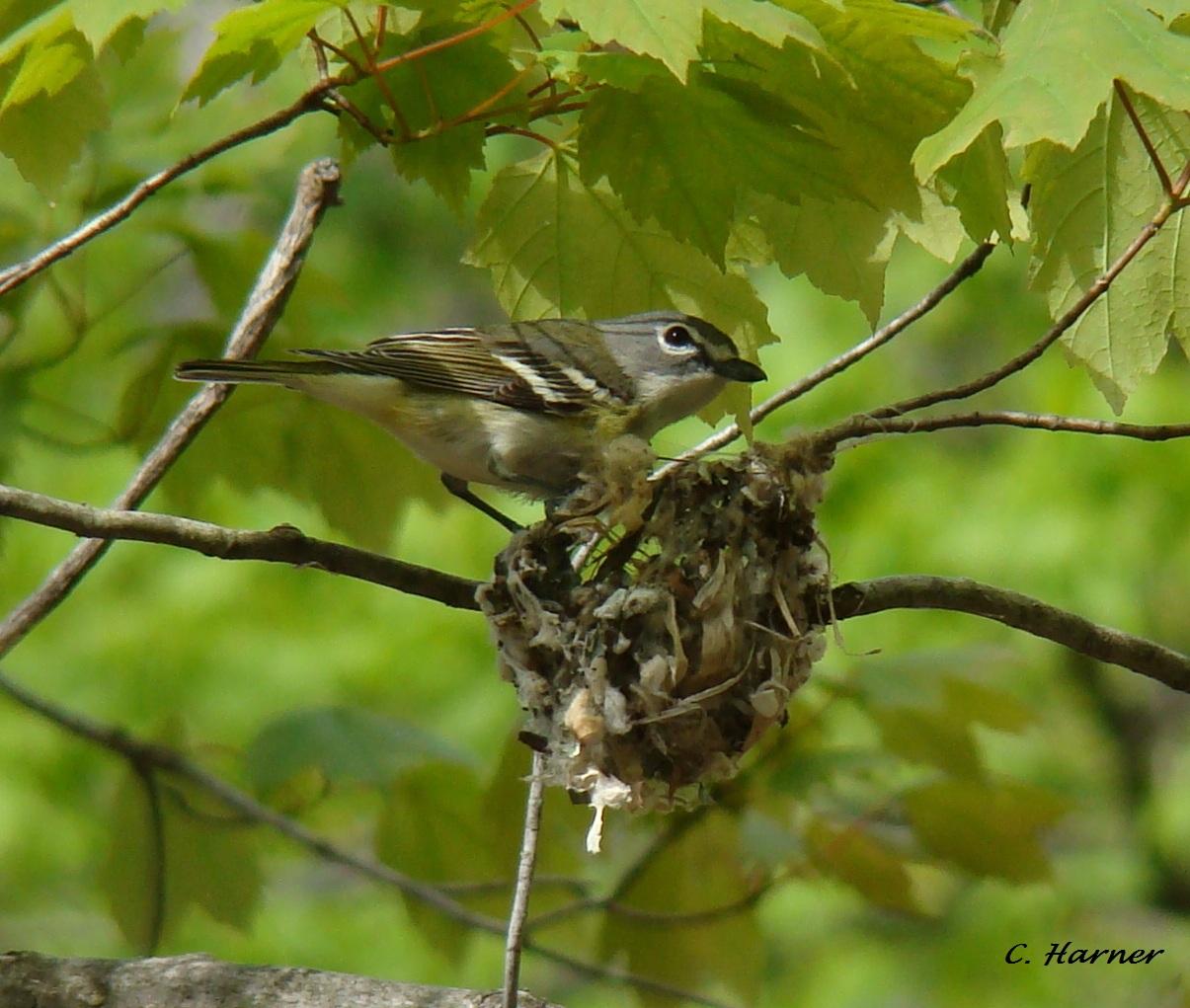 Huttons vireo nest
