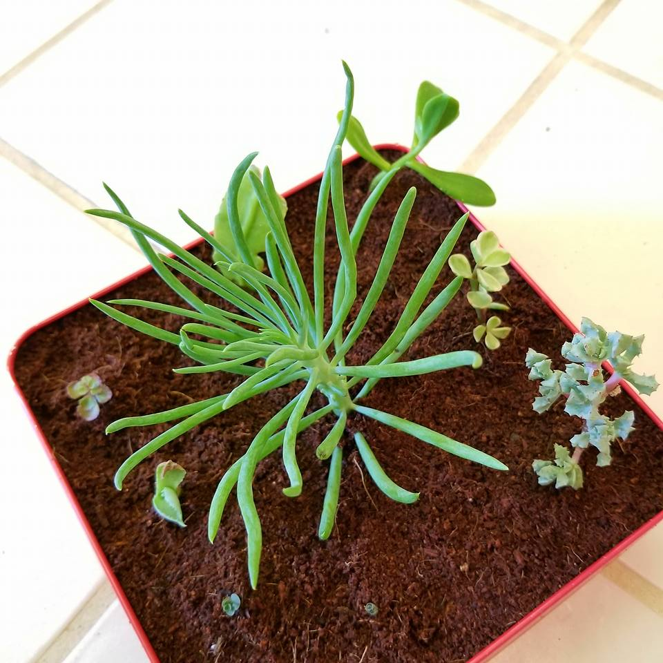 succulents replanting my rooted succulents in coco peat. Black Bedroom Furniture Sets. Home Design Ideas