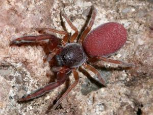 Spesies laba-laba paling brutal di dunia