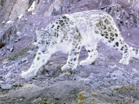Search for the Legendary Snow Leopard in Ladakh, Himalayas