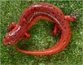 Amphibians: Pseudotriton montanus montanus