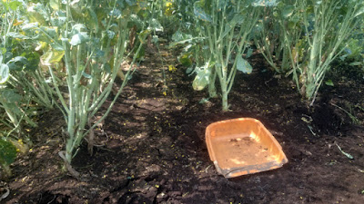 茎立菜の片付け中。枯れ葉が土を覆っていたので雑草がほとんどありません。あるのはスギナ。