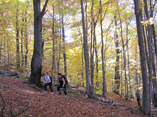 Leśna wędrówka na Kozie Żebro. Tuż przed połączeniem ze szlakiem zielonym.