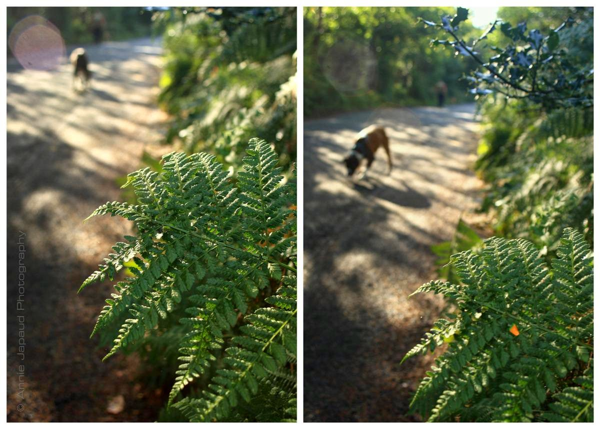 ferns, boxer dogs walking