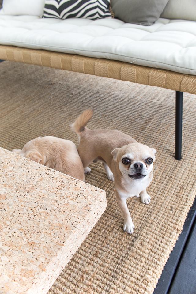 Villa H, terassi, chihuahua, koirat, koiran elämää